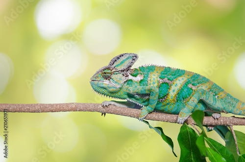 Green chameleon camouflaged by taking colors of its nature background. Tropical animal on natural tree.