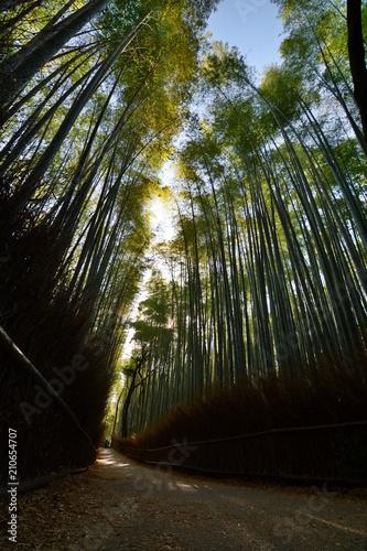 Tuinposter Bamboo Sagano bamboo forest at sunrise. Arashiyama. Kyoto. Japan