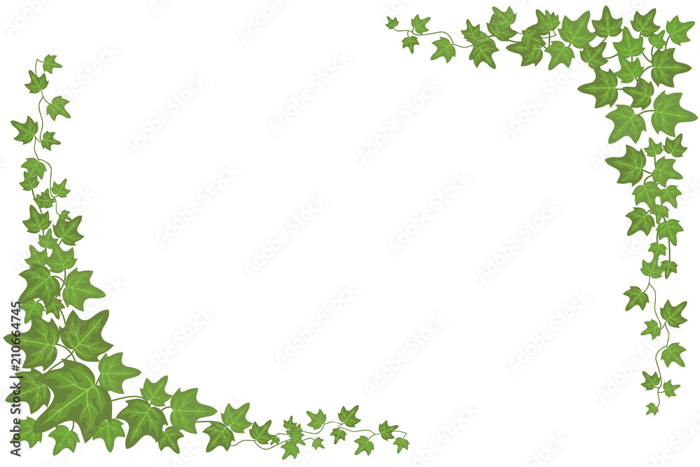 Fototapeta Decorative green ivy wall climbing plant vector frame