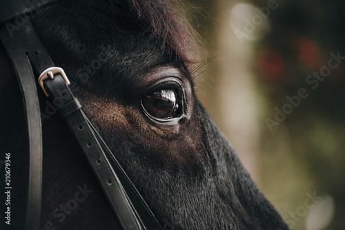 Foto  The portrait of a beautiful black horse