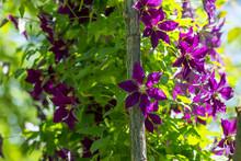 Clematis Spilled Wooden Garden...