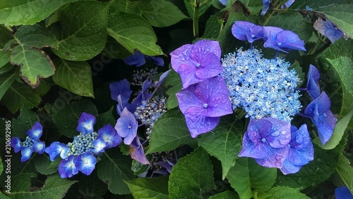 Foto op Aluminium Hydrangea Blue purple hydrangea petals and flowers on hortensia plant