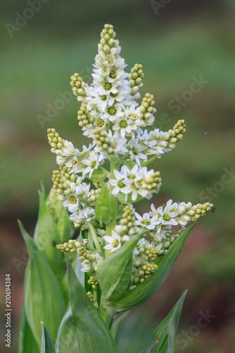 White Hellebore Veratrum Album Poisonous Mountain Flower Buy This