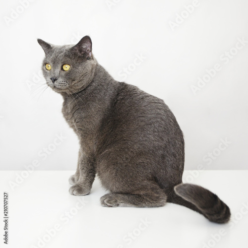 Fotografie, Obraz  Male British cat sitting on a white table