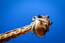 Giraffe Looks In Wide Angle Le...