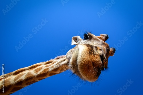 Obraz na plátně  giraffe looks in wide angle lens from above