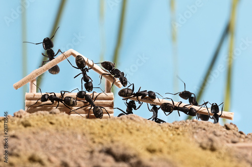Photo Ants are building wooden house (Lasius niger)