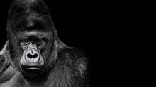 Portrait Of A Gorilla. Gorilla...