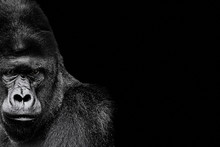 Portrait Of A Gorilla. Gorilla...
