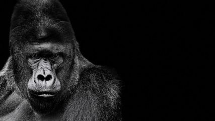 Portrait of a Gorilla. gorilla on black background, severe silverback