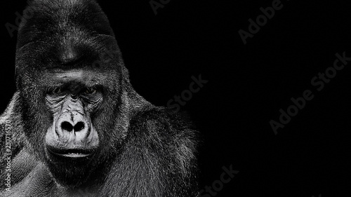 Portrait of a Gorilla. gorilla on black background, severe silverback