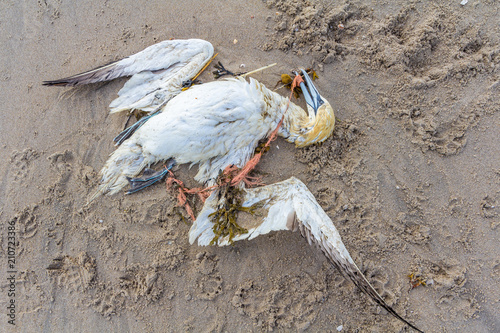 Photo  dead northern gannet trapped in plastic fishing net washed ashore on Kijkduin be