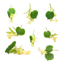Set Of Linden Flowers On White Background