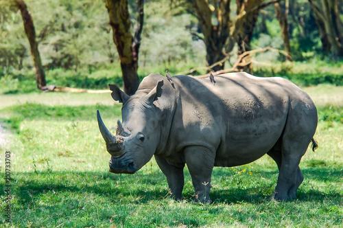 In de dag Neushoorn White Rhinoceros