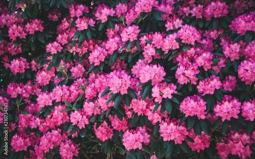 Spoed Fotobehang Roze Rhododendron flower pattern.
