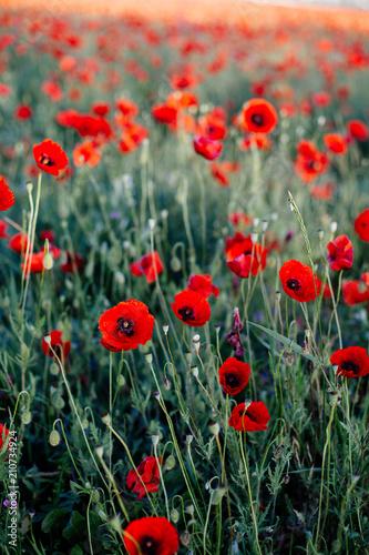 Fotobehang Poppy Red poppy in the field.