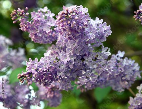 Foto op Canvas Lilac Üppig blühender lila Flieder vor grünem Hintergrund
