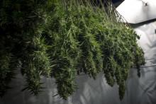 Mature Indoor Marijuana Plants Hang Upside Down