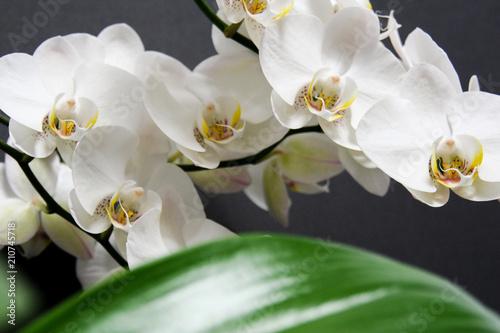 Biały storczyk na czarnym tle - 210745718