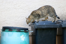 Stray Gray Striped European Shorthair Looking Through Garbage Cans In Germany