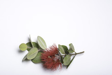A Spray Of Tahitian Pohutukawa With Leaves And Red Blossom On A White Background.
