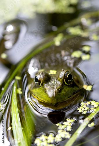 Tuinposter Kikker frog in pond