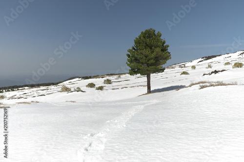 Fotografie, Obraz Winter Pine in Etna Park, Sicily