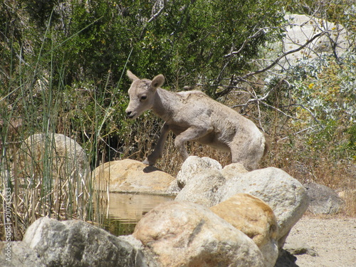 Thirsty lamb approaches a water stop at Anza Borrego State Park, California, where desert bighorn sheep gathered on a hot spring day Wallpaper Mural