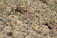 Saguaro Cacti On A Mountainside In The Arizona Sonoran Desert