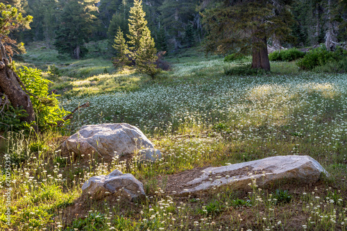 A Meadow of Wildflowers and Grasses in Early Morning Sunlight, Calaveras County, Wallpaper Mural