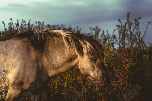 Wild horse eating Poster