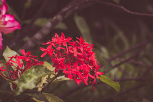 Red Spike Flower. King Ixora B...