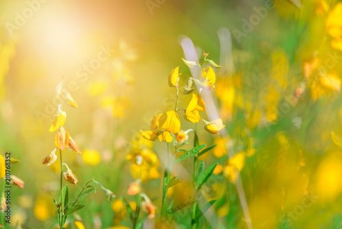 In de dag Narcis Close-up Yellow Crotalaria juncea flower with blurred Sunn hemp or Crotalaria juncea on background