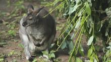Bennett's Wallaby During Feeding