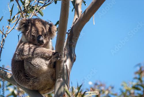 Garden Poster Koala Koala in gum, Australia