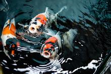 Close Up Koi Carp Fishes Waiti...