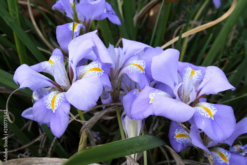Purple Iris 'unguicularis'