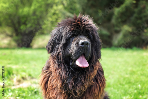 Fototapeta Huge newfoundland dog, with green park in background.