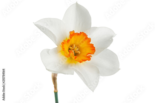 Papiers peints Narcisse Narcissus spring flower on white