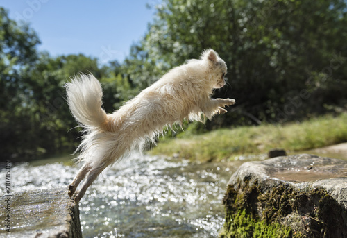 Papiers peints Inde chihuahua jumping in nature