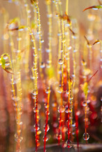Yellow Moss In Dew Drops At Su...