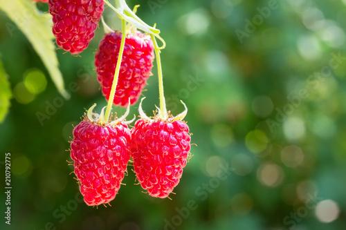 Foto  raspberries on the bush