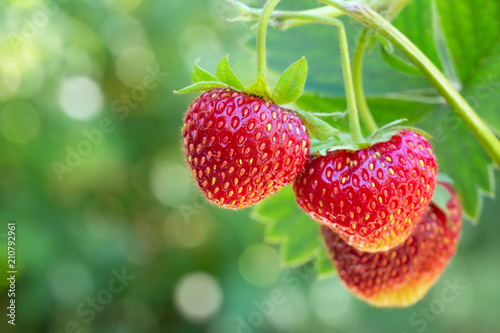 strawberries on the bush