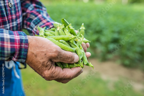 Senior farmer holding in her hans fresh peas