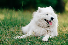 Adorable Amazing White Fluffy Happy Samoyed Puppy Lying On Grass Outdoor At Nature In Summer.  Portrait Of Beautiful Purebred Dog Relaxing On Field.  Lovely Furry Smiling Pet On Meadow.