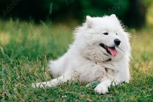 Adorable amazing white fluffy happy samoyed puppy lying on grass outdoor at nature in summer Canvas