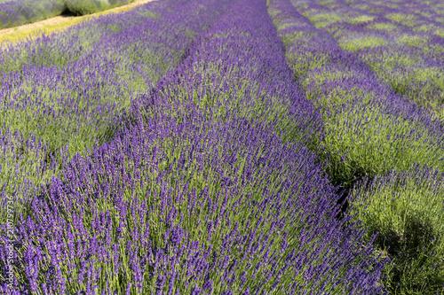 adel-miller-stripping-near-lavender-flowers-high-girls-flashing