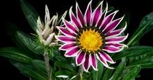 Multicolored Flowers Gazania O...