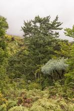 Yellowwood Tree, Mountain Kiep...