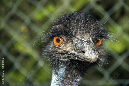 Portrait Of An Emu (Dromaius Novaehollandiae) Canvas Print